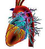 Human heart,3D CT scan