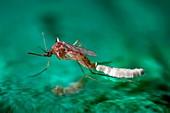 Culex quinquefasciatus mosquito laying eggs