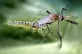 Culex quinquefasciatus mosquito male emerging
