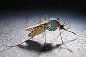 Healthy Culex mosquito dusted with tracking powder