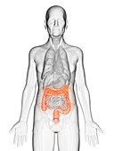 Illustration of an elderly man's colon