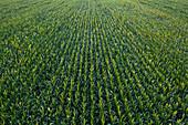 Aerial view of sweetcorn field