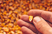 Single corn kernel in farmer's hand