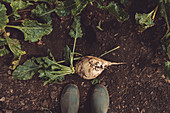 Farmer standing directly above sugar beet