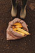 Farmer and harvested corn cobs in burlap sac