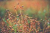 Ripe flax (Linum usitatissimum) plants in field