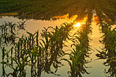 Flooded young corn field
