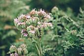 Fiddleneck (Phacelia tanacetifolia) flowers