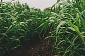 Sudan grass (Sorghum sudanense) crop