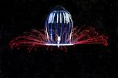 Aglantha digitale jellyfish