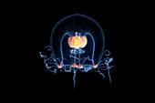 Bougainvillia superciliaris jellyfish