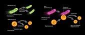 Development of antibiotic multi-resistance in bacteria