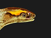 Snake head and tongue anatomy, illustration