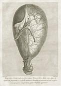 William Hunter on the anatomy of human pregnancy, 1774