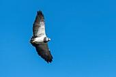 Black chested buzzard eagle, Tierra del Fuego
