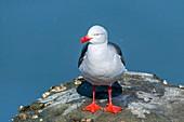 Dolphin gull, Tierra del Fuego