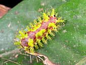 Saddleback Caterpillar, Ecuador