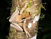 Napo Slender-legged Treefrog