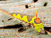 Brightly coloured moth caterpillar