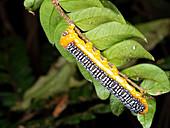 Noctuid moth caterpillar