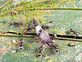 Ants feeding on a cricket leg