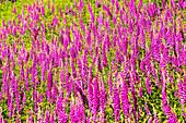 Foxgloves (Digitalis purpurea) in flower