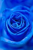 Blue dyed rose (Rosa sp.)
