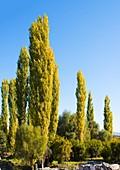 Poplars, Aphrodisias, Turkey