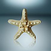 Preserved star fish