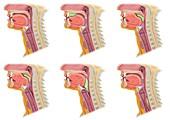 Swallowing mechanism, illustration