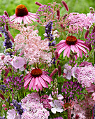 Bienenfreundlicher Stauden-Mix in pink und violett