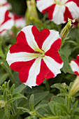 Petunia Amore™ 'King of Hearts'