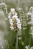 Lavandula angustifolia 'Aromance White'