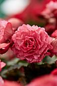 Begonia hiemalis 'Frivola Pink', Proven Winners, Rieger Begonia
