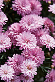 Argyranthemum 'Percussion Double Rose'