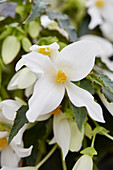 Begonia Waterfalls 'Encanto White'