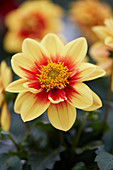 Dahlia Labella® 'Medio Fun Golden Eye'