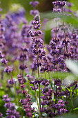Salvia verticillata 'Endless Love'