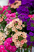 Verbena MultiColours 'Magelana Magic' Farbmix