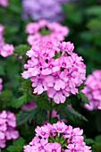 Verbena 'Vanessa Compact Pink'