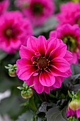 Dahlia Labella® 'Medio Fun Pink Eye'