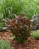 Viburnum odoratissimum 'Coppertop'