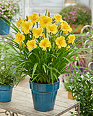Hemerocallis 'EDL Gold'