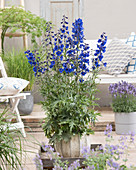 Delphinium 'Bella Andes Blue'