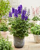 Delphinium 'Paramo Purpura'