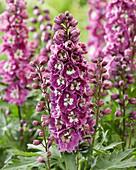Delphinium elatum 'Excalibur Lilac Rose White Bee'