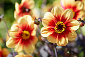 Dahlia 'Dreamy Eyes'