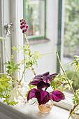 Ableger von Buntnessel und Duftgeranie in Vasen am Fenster