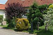 Vorgarten mit Blutpflaume und Topiary