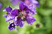 Biene an Blüte vom Storchschnabel